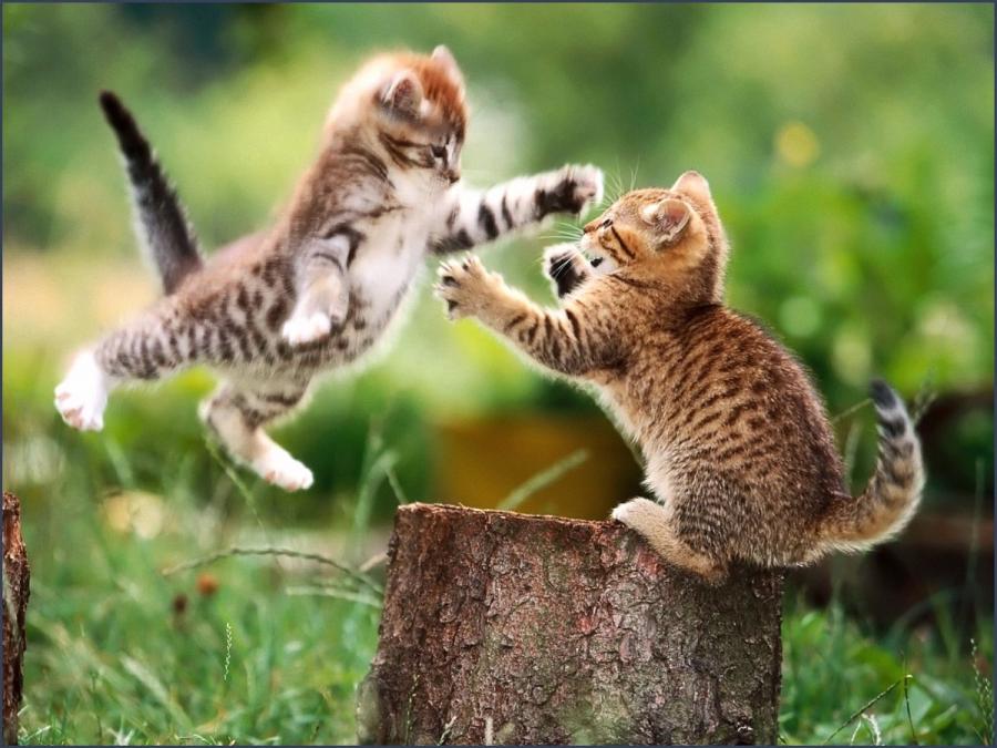 lucha-de-gatos